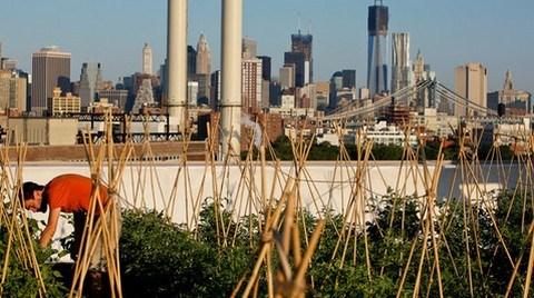 New York'ta Binaların Çatıları Çiftliğe Dönüşüyor