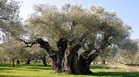 1650 Yıllık Zeytin Ağacı Tescillendi
