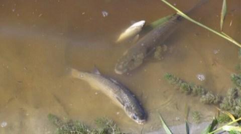 Ve İnsan Balıkları Suda Boğmayı Başardı!
