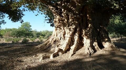 Dünyayı Dev Ağaçlar Kurtaracak
