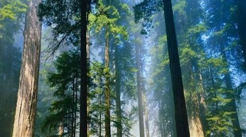 Ağaçlar 'Yangın Tehlikesi' Yüzünden Kesilmiş