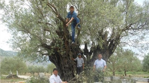 1650 Yaşındaki Ağaç Bakımda