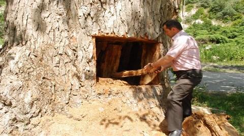 Asırlık Kavak Ağacını Bu Hale Getirdiler!