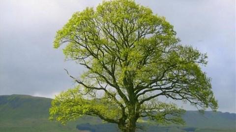 Anıt Ağaç Üç İmparatorluğa Tanıklık Etmiş!