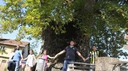 1500 Yaşında 14 Metre Çapında Çınar Ağacı