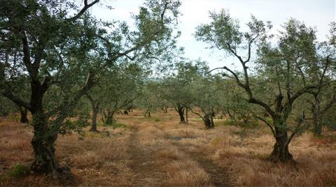 Resmen Raporda: Zeytinlikler Yüzünden Sorun Yaşıyorlarmış!