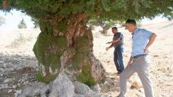 Bin 200 Yıllık Ağaç Anıt Olacak