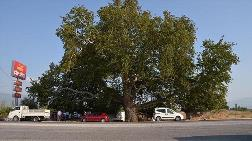 3 Asırlık Ağaç Artık Koruma Altında