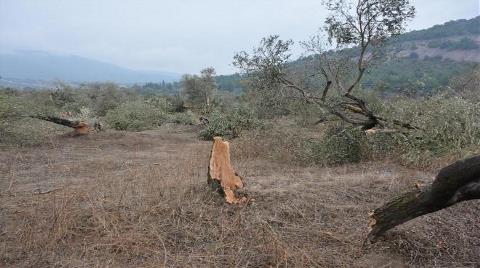 6 Bin Zeytin Ağacını Katlettiler!