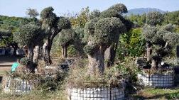Yatağan'da Kurtarılan Zeytin Ağaçları Datça'da