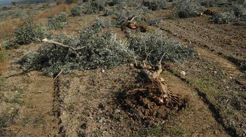 Kolin 'Ağaç Katliamı'nı Savundu