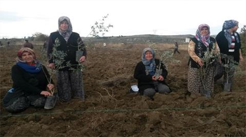 Yırca'da Sökülen Zeytinliğe 1000 Fidan