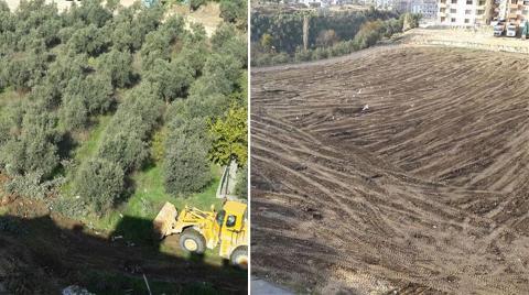 Bursa'da Zeytin Ağaçları İnşaat için Yok Ediliyor!