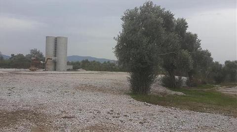 Jeotermal Enerji için Zeytin Ağaçları Kesildi