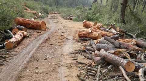 Kayaköy'de Ağaç Katliamı