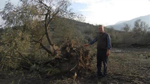Olan Zeytin Ağaçlarına Oldu