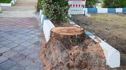 Dikili'de Ağaç Gerginliği