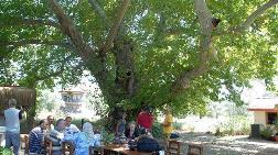 Koruma Altındaki Ağaçlar Kesildi, Yurttaşlar Tepkili
