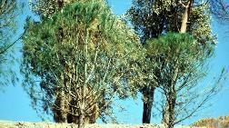 Kuruyan Ağaçlar için Görülmemiş Çözüm