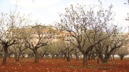 Antep'te 80 Yıllık Fıstık Ağaçları Bir Bir Yok Olacak!