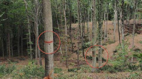 Belgrad Ormanı'nda Ağaçlar mı Kesiliyor?