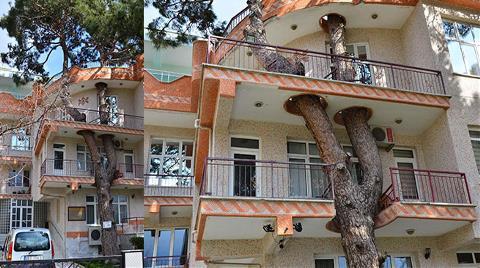 325 yıllık Ağaç 4 Katlı Binanın İçinden Geçiyor