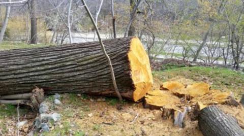 Dev Kestane Ağaçları Katledildi!