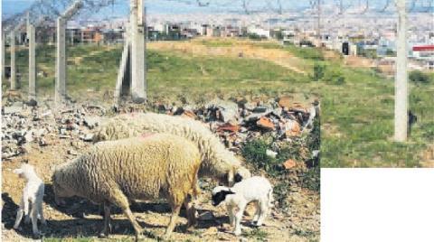 İzmir'in Çernobili'nde Koyunlar Otluyor!