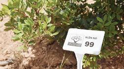 Artan Yapılaşma Kurbanı Sakız Ağaçları için Önemli Adım