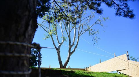 30 Yıllık Çınar Ağacı için 2,5 Milyon Liralık Proje Değiştirildi