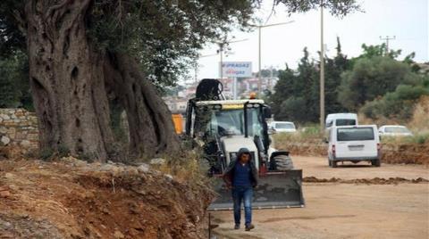 Kuşadası'nda 700 Yıllık Zeytin Ağacı Kurtarıldı