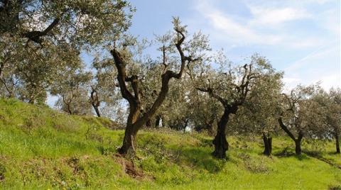 Zeytinliklerin Talana Açılması Onaylandı