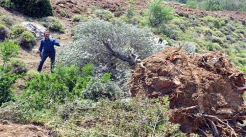 Asırlık Zeytin Ağaçlarının Köklerini Çıkaranları Sopalarla Kovaladılar