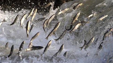 Uçan Balıklar HES'ler Yüzünden Göç Yolunda Ölüyor