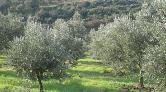 Bursa'nın Zeytin Ağaçları Bir Bir Sayılıyor