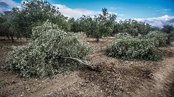 Maden Ocağı için Fıstık Ağaçlarını Kesecekler