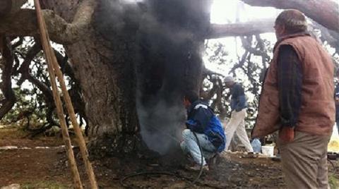 Dilek Dilemek için Yaktığı Mum, 800 Yıllık Ağacı Yaktı!