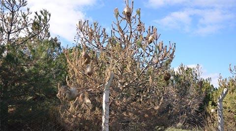 Atatürk Ormanı'ndaki Çam Ağaçlarını Çam Kese Böcekleri Sardı