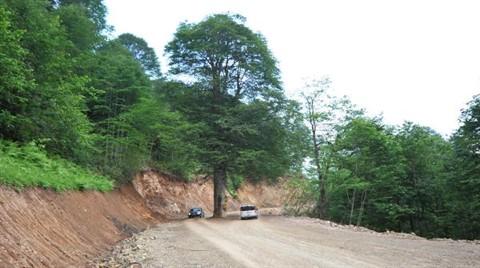 Yola Engel Asırlık Gürgen Ağacı Kesilmekten Kurtarıldı