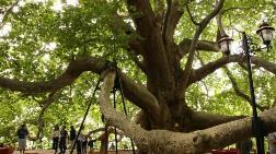 Anıt Ağaçların Koruma Dışı Bırakılmasına Yargıdan Durdurma