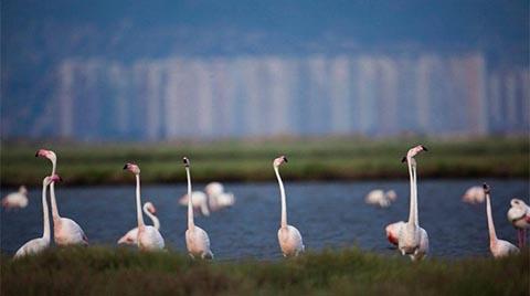 İzmir Körfez Geçiş Projesi İptal Edildi; Flamingolar Kurtuldu