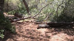 22 Çam Ağacını Kestiler