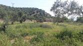 Aydın'da JES için Zeytin Ağaçları Kesildi
