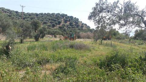 Değirmendere'de JES Şirketi Zeytin Ağaçlarını Kimyasalla Kurutmuş
