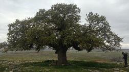 250 Yıllık Meşe Ağacına Koruma Kararı