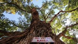 Asırlık Ağaçlar Tescillenerek Koruma Altına Alındı
