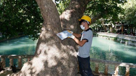 Anıt Ağaçlara Özel Bakım