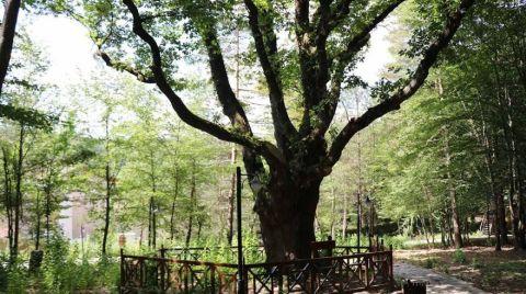 Atatürk'ün Gölgesinde Ayran İçtiği Ağaç Koruma Altında
