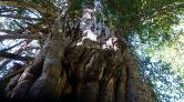 Artvin'de 1200 Yıllık Ağaç Koruma Altına Alındı