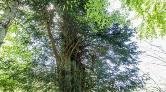 Anıt Ağaçlar için İnternet Sitesi Yapıldı